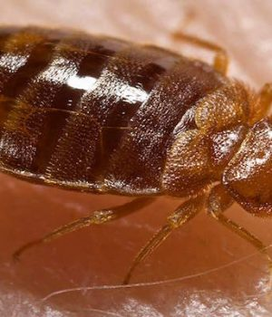 Chicago is #1 in bedbugs, again