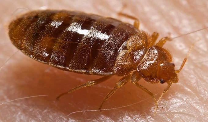 Bedbugs: Watch where you sleep