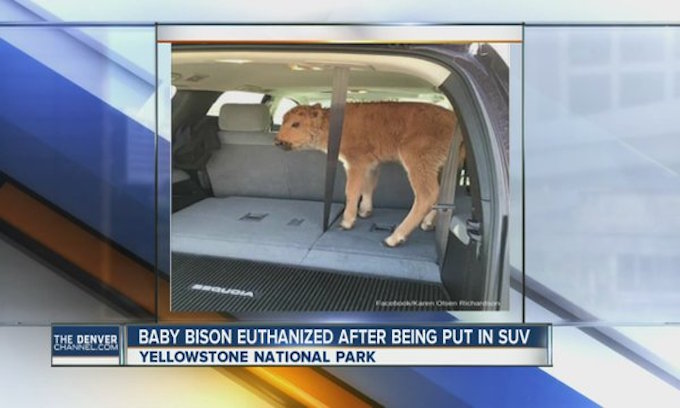 Man who put Yellowstone bison calf in SUV gets fines, probation