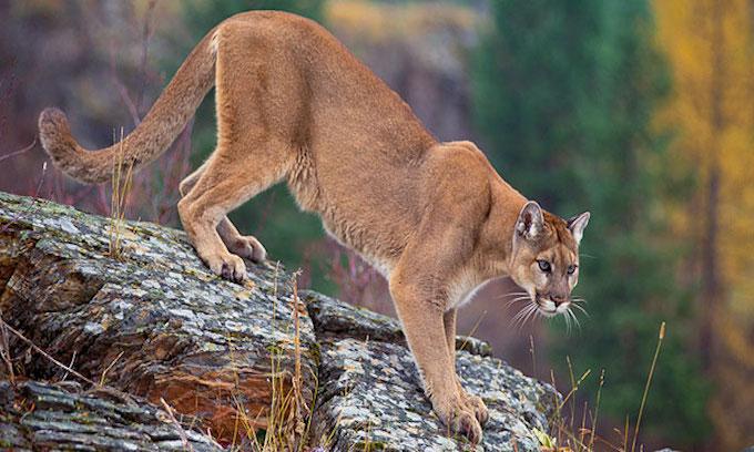 Wild animal attacks increase as territory narrows