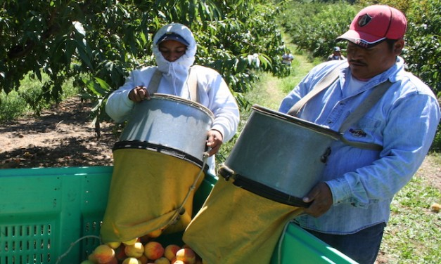 Apple-picking time: Washington sees record foreign worker visas