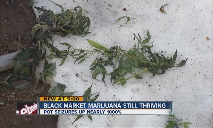 Legalized marijuana has brought huge black market problems to Colorado
