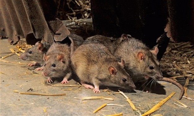 Oakland, S.F. combine to rank among most rat-infested U.S. cities