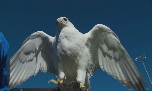 West Point apologizes for falcon's injuries; Air Force Academy mascot expected to fully recover