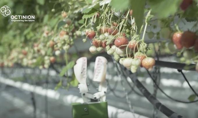 Florida strawberry farmers using robots to pick fruit, control mildew