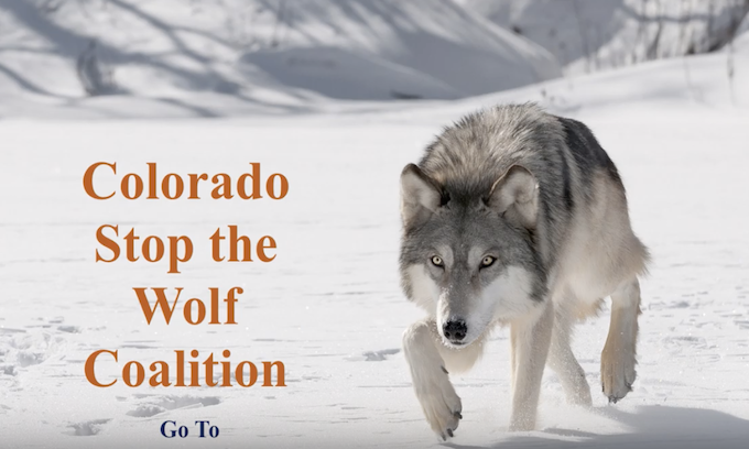 Voters will decide whether to reintroduce wolves in Colorado