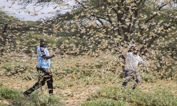Locusts of Biblical Proportions: Experts Fear New Swarms in Eastern Africa, 20 Times As Large