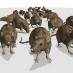 Chicago is 'rat capitol' for 7th straight year, New York finishes 3rd