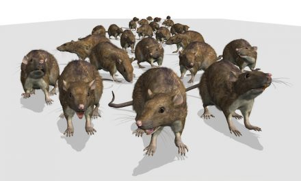 'Aggressive' rats on rise in big cities