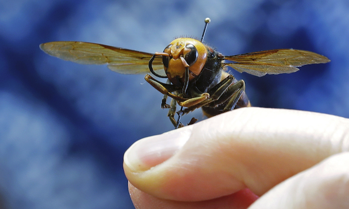 'Murder' Hornets: They can't kill you if you eat them first, and they are pretty tasty