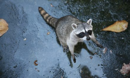 White House press corps not popular with raccoons either