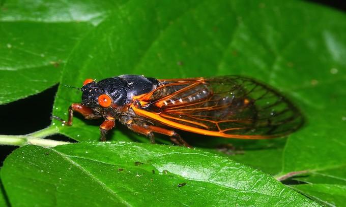 So, who's eating Cicadas?